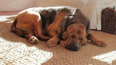 Bloodhound Sleeping Wide Shot Stock Footage