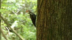 2 minutes of Woodpecker digging holes on a tree - stock footage