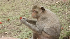 Monkey sitting eating fruit Stock Footage