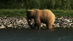 Grizzly Sow Tosses and Consumes Sockeye Salmon on Riverbank Stock Footage