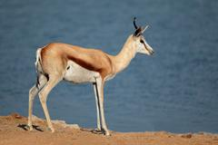 Springbok antelope Stock Photos