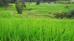 Rice fields in the wind. Stock Footage