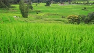 Stock Video Footage of Rice fields in the wind.