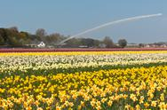 Stock Photo of multicolored narcissus field in holland