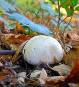 white mushroom - stock photo