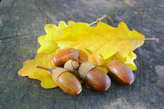 acorns on yellow leafs - stock photo
