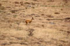 running deer in the field - motion blur - stock photo