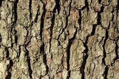 Oak bark texture Stock Photos