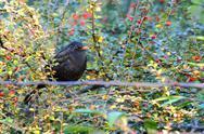 Common blackbird male Stock Photos