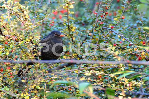 Stock photo of common blackbird male