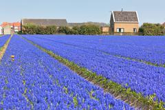 hyacinth field in holland. horizontal shot - stock photo