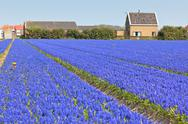 Stock Photo of hyacinth field in holland. horizontal shot