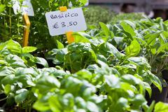 Homegrown basil seedlings Stock Photos