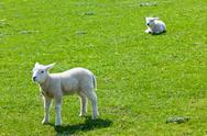 Stock Photo of two lambs on the green grass
