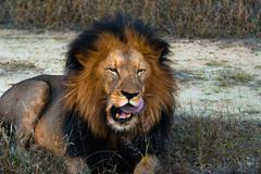 Lion licking lips Stock Photos