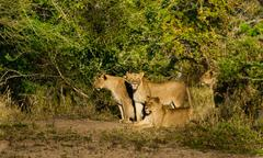 group of three lions - stock photo