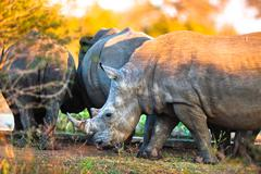 rhinos at a watering hole - stock photo