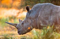Rhinoceros in late afternoon Stock Photos