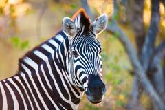 plains zebra (equus quagga) profile view - stock photo