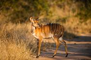 Stock Photo of nyala