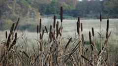 Bulrush at the lakeshore - stock footage
