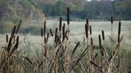 Bulrush at the lakeshore Stock Footage