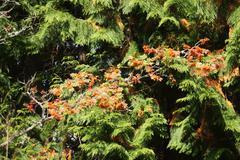 red autumn berries on mountain ash - stock photo