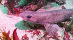 Lesser spoted dog fish shark c:up Stock Footage