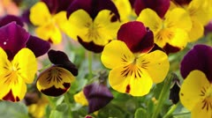 Horned pansy (Viola cornuta) Stock Footage