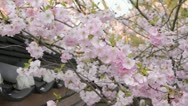 Stock Video Footage of Autumn cherry (Prunus subhirtella x sargentii 'Accolade')