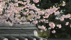 Autumn cherry (Prunus subhirtella x sargentii 'Accolade') in a Korean garden Stock Footage