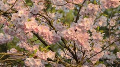 Autumn cherry (Prunus subhirtella x sargentii 'Accolade') Stock Footage