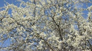 Stock Video Footage of Sloe (Prunus spinosa)