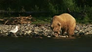 Stock Video Footage of Brown Bear Grizzly Devouring Salmon Carcass on Kenai River Shore