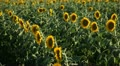 Sunflower Field in Summer, Full Grown, Research, Organic Agriculture, CloseUp Footage