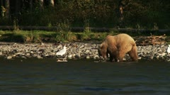 Young Female Grizzly Playfully Batting at Salmon Carcass Stock Footage
