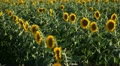 Sunflower Field in Summer, Full Grown, Research, Organic Agriculture, time lapse Footage