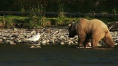 Young Grizzly Sow Playfully Investigating and Flinging Salmon Carcasses Stock Footage