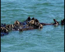 Sea otters V3 - PAL Stock Footage
