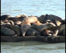 Sea lions V4 - PAL Stock Footage