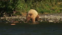 Young Grizzly Foraging Among Salmon Carcasses on Riverbank Stock Footage