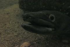 Conger eel sd Stock Footage