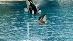 Trained Orcas leap out of the water Stock Footage