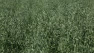 Stock Video Footage of Landscape, Agriculture Farm Meadow, Oat Field, Green Cereal Grain, Countryside