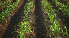 Corn Field in Summer, Full Grown, Farm, Research, Organic Agriculture, Farmer Stock Footage