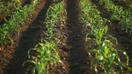 Stock Video Footage of Corn Field in Summer, Full Grown, Farm, Research, Organic Agriculture, Farmer