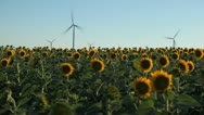 Sunflower Field in Summer, Wind Energy, Power Turbine, Renewable, Sustainable Stock Footage