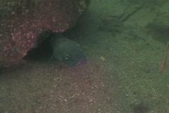 Conger eel sd 4 Stock Footage