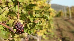 Vineyards with black grapes Stock Footage