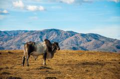 A Lone Cow in the Desert Stock Photos